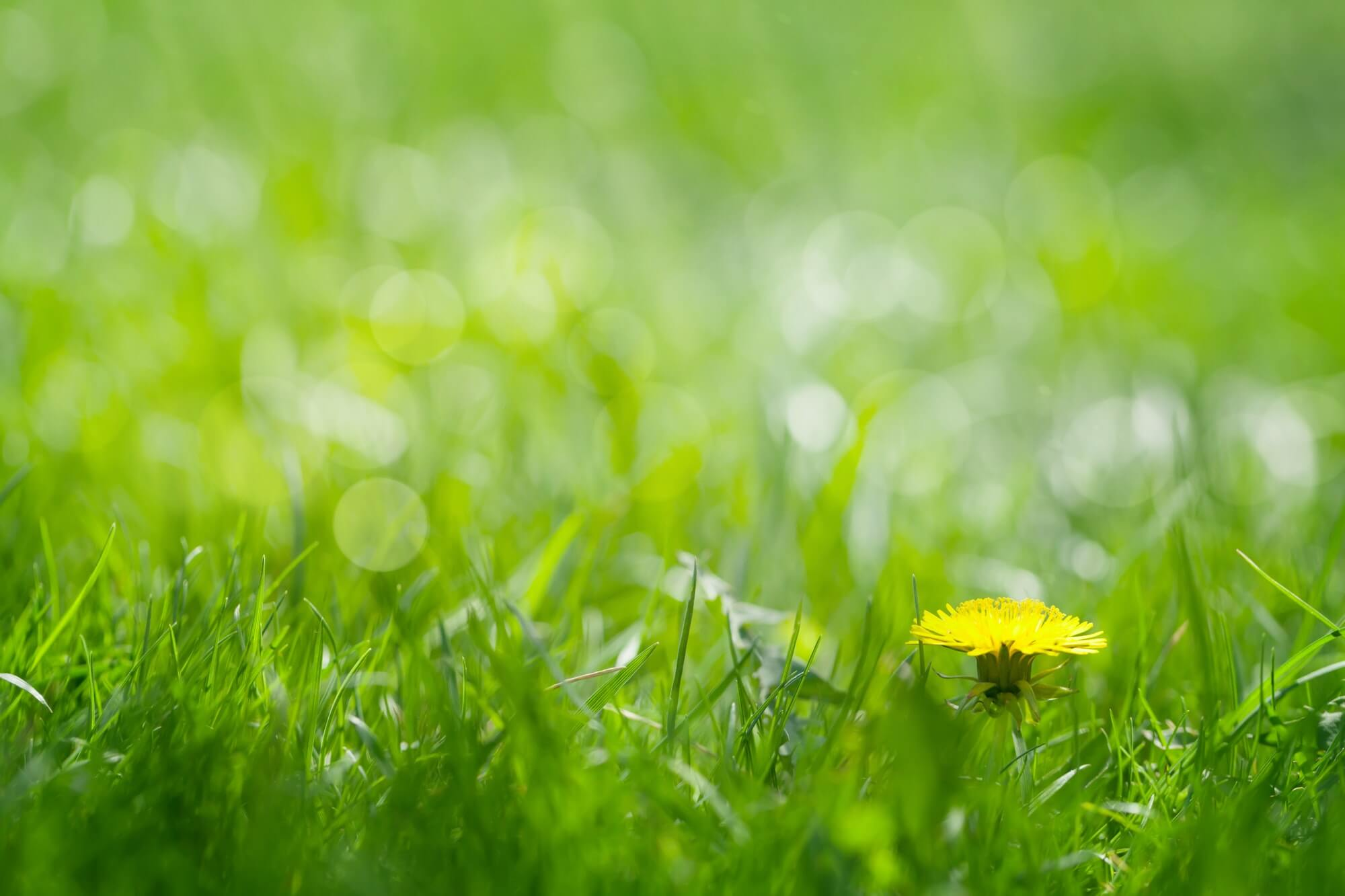 green-grass-field-with-yellow-dandelion-1