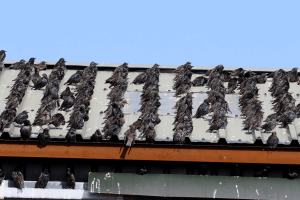pest-control-Cape-Town-birds-on-roof-min