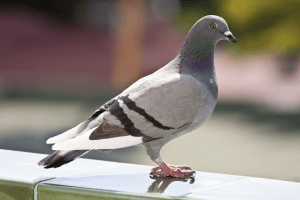 pest-control-Cape-Town-pigeon-min