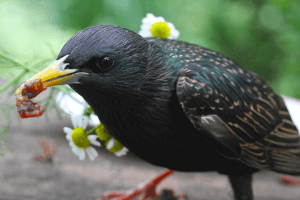 pest-control-Cape-Town-starling-eating-min