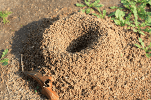 pest-control-cape-town-anthill-min