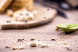 pest-control-cape-town-little-red-ant-eating-and-carrying-leftovers-min