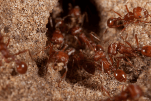 pest-control-cape-town-red-harvester-ant-min
