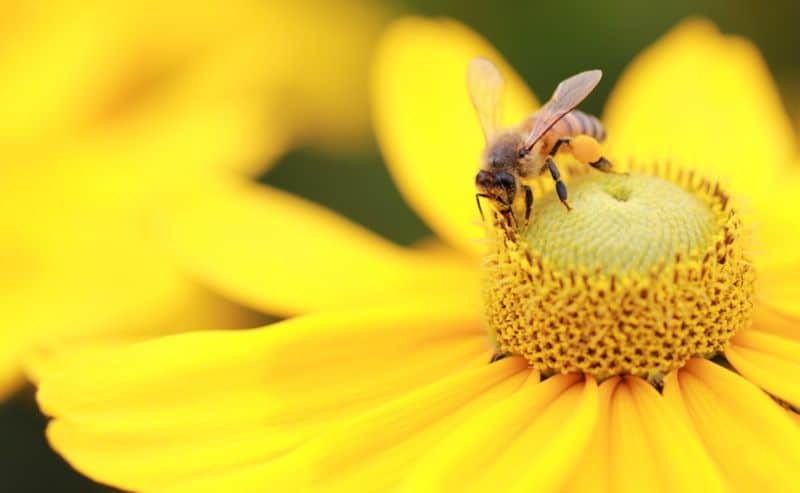 pest-control-cape-town-bee-beneficial-bug-min